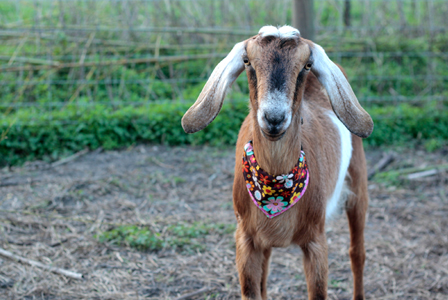 goats with a bandana nubian