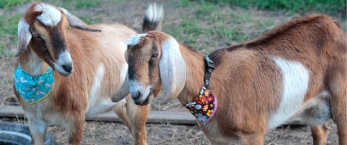 nubian goats with bandanas