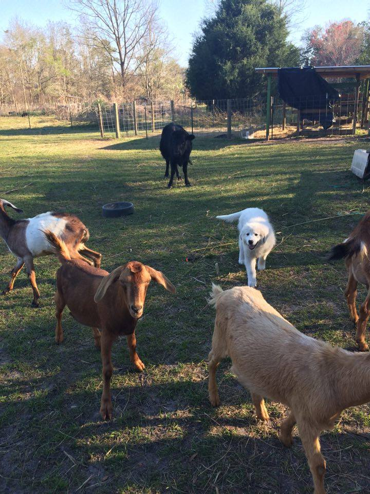 Fetty & our goats