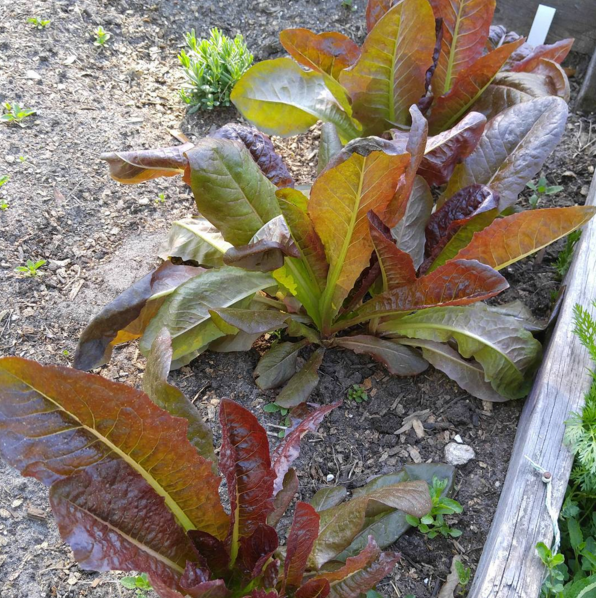 Red oak leaf lettuce.