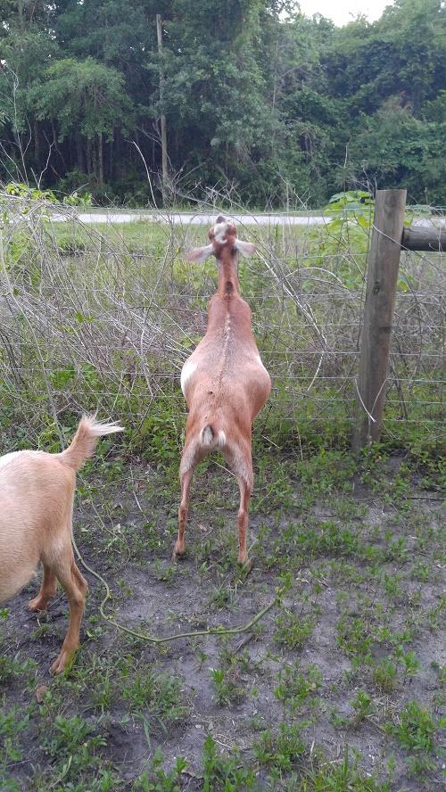 FFF goat 1